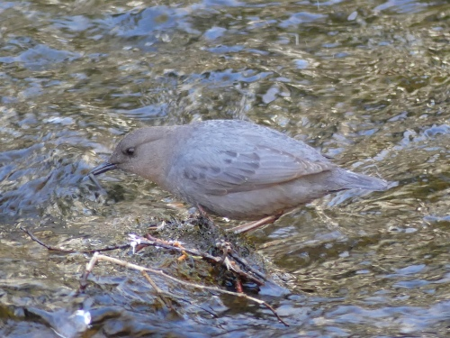 An American Dipper with a little fish in its bill. This was one of Derek's most wanted birds.