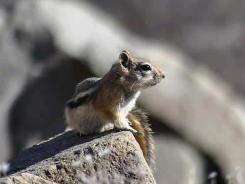 Golden-mantled Ground-Squirrel