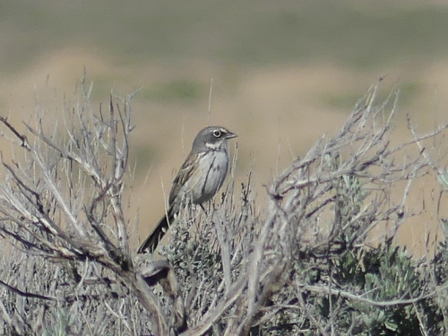 Sagebrush Sparrow, a much-desired life bird