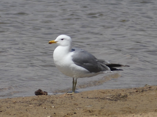Adult California Gull
