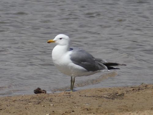 Adult California Gull
