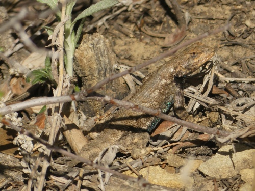 A male lizard in the genus Sceloporus. You can just barely see his blue belly.