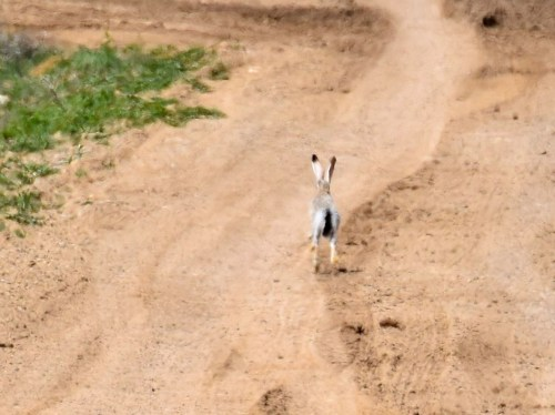 Black-tailed Jackrabbit. Photo by Derek Hudgins.