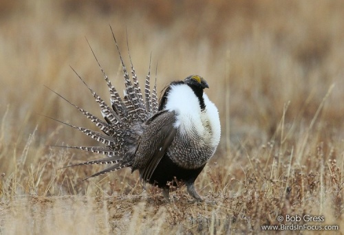 Gunnison Sage-Grouse. Photo by Bob Gress.