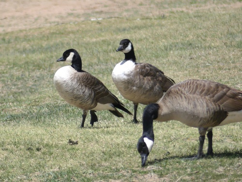 Cackling Geese with a Canada Goose in the foreground. Once considered the same species, Canada and Cackling Goose were split in 2004.