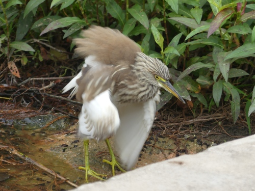 A goofy photo of a Chinese Pond-Heron, but it shows the white undersides of the brown-backed bird. Once spring comes and these birds molt into their breeding plumage, they will be so colorful that they look like a different species.
