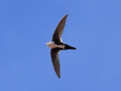 White-throated Swift. Photo by Derek Hudgins.