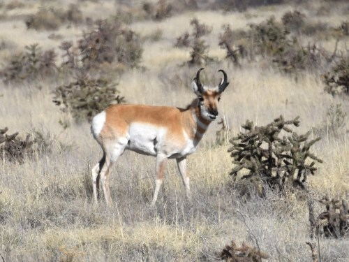 One of the many Pronghorn that we saw throughout the trip. Photo by Derek Hudgins.