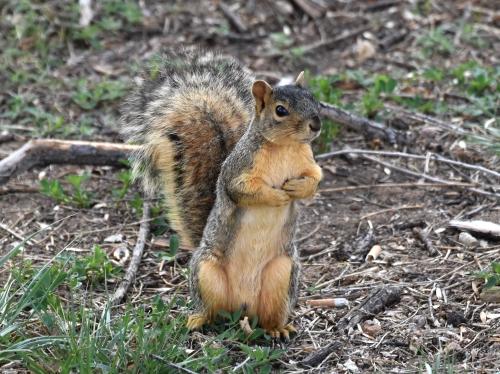 American Red Squirrel. Photo by Derek Hudgins.