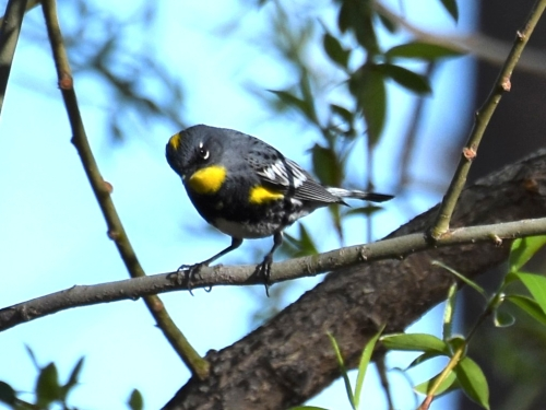 We saw the Audubon's subspecies of Yellow-rumped Warbler with their bright yellow throats frequently during our trip. Photo by Derek Hudgins.