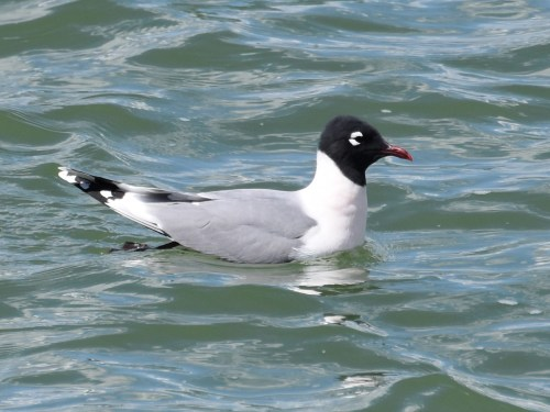 Franklin's Gull in gorgeous breeding plumage. Photo by Derek Hudgins.