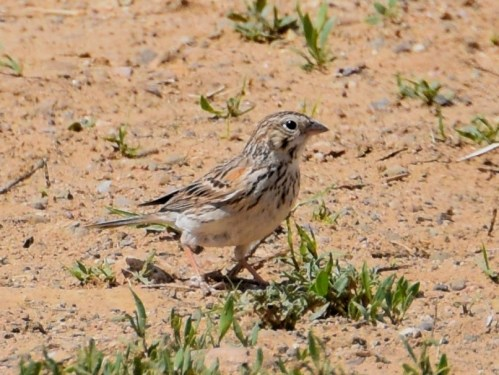 Vesper Sparrow. Can you see why this bird was once called the Bay-winged Bunting? Photo by Derek Hudgins.