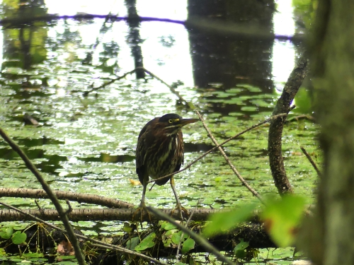 Green Heron in the swamp along the South Hero Marsh Trail