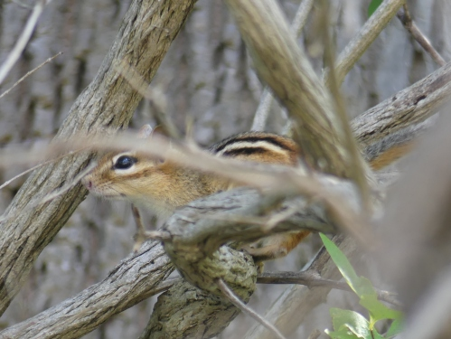 A chipmunk who's chirping almost fooled me