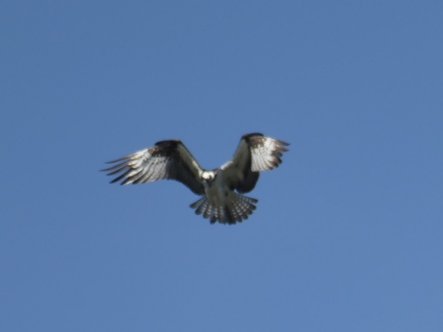 A poor photo of an amazing Osprey hovering over Lake Champlain