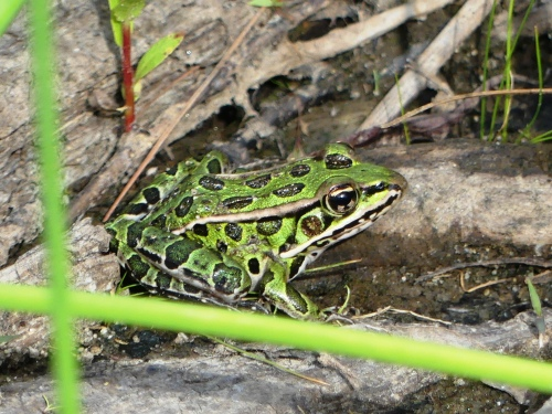 Pickerel or Leopard Frog? David saw where it hopped as we walked through the weeds on the way back to the car at Noblewood Park.