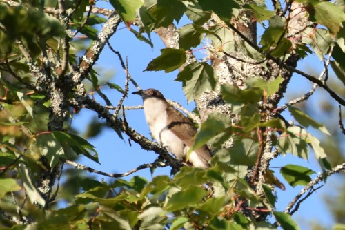 Black-billed Cuckoo. Photo by Derek Hudgins.