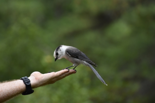 A Canada Jay on David's hand. Note how his feet wrap around David's fingers. Photo by Derek Hudgins.