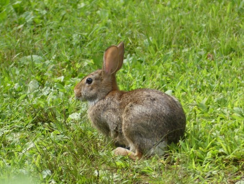 A Cottontail seen in Connecticut today