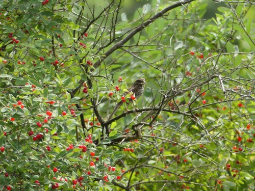 We saw shrubs with red berries everywhere like this one with a Song Sparrow at Dead Creek WMA IBA.