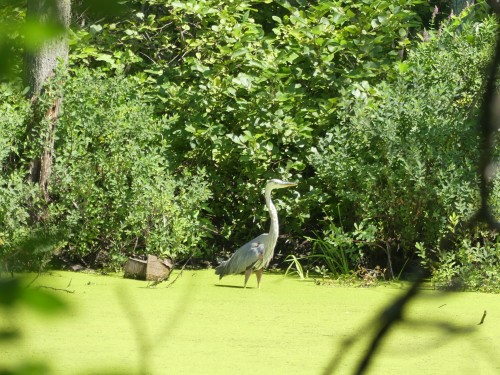 A Great Blue Heron in a small pond at McFee Brook Interpretive Center