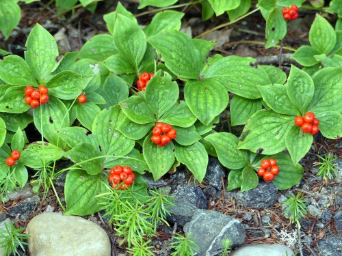 Canadian Bunchberry, a member of the dogwood family, was abundant along the roadsides in the bog