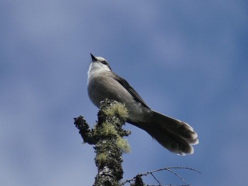 A Canada Jay surveys the area