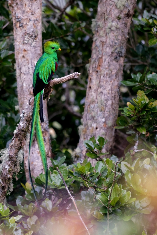 Resplendent Quetzal. Photo by Mike Canzoneri.