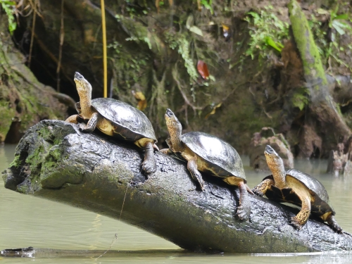 Black River Turtles