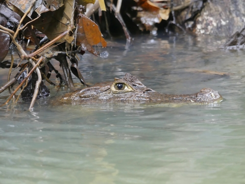 Spectacled Caiman