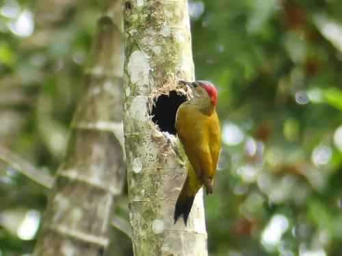 Golden-olive Woodpecker (female)