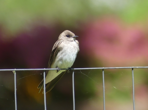Taking a rest from swooping around the lakes, a Northern Rough-winged Swallow poses on a neighbor's garden fence.