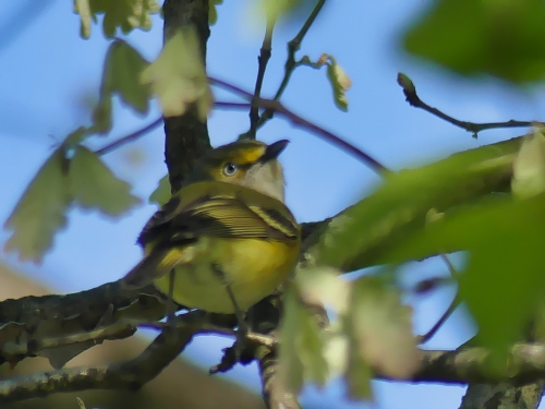 White-eyed Vireos are easy to hear, but hard to photograph. But I'm happy when I can see the white eye.