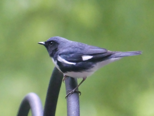 On April 26, this male Black-throated Blue Warbler made an appearance on my deck at 7:40 AM.