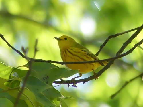 A Yellow Warbler - one that I was able to hear, see, and photograph! It was also a new patch bird giving the Yardbirds a bonus point.
