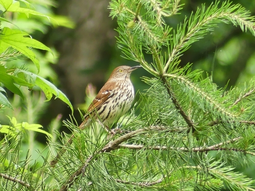 Brown Thrasher in the neighborhood, one of my favorite birds