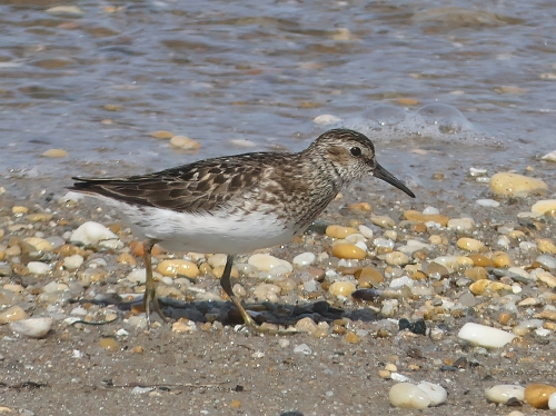 Least Sandpiper on Delaware's Slaughter Beach