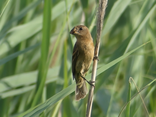 At Daniel Crouse Memorial Park, a female Blue Grosbeak with a grasshopper for her babies
