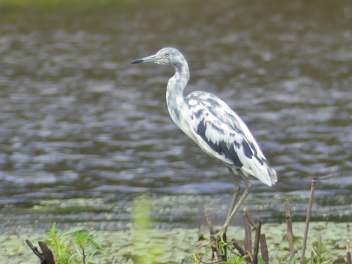 Little Blue Heron at North Point SP