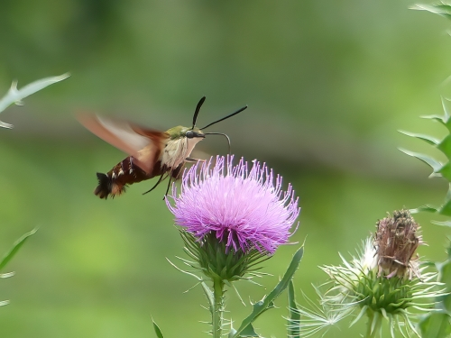 Hummingbird Clearwing Moth at Stauffer's Marsh Nature Preserve