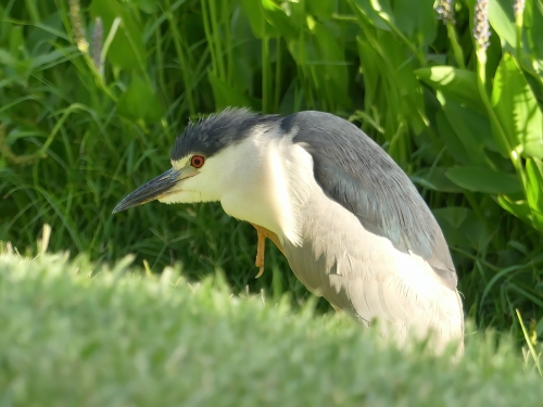 Adult Black-crowned Night-Heron at Baker Park