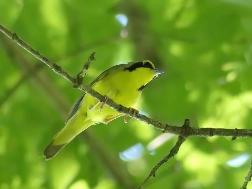 Kentucky Warbler at Susquehanna State Park