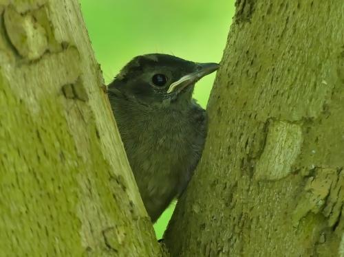 Juvenile Gray Catbird at Susquehanna State Park