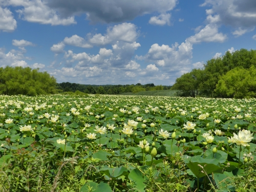 A large pond of American Lotus at Swan Harbor Farm Park in Havre de Grace, MD