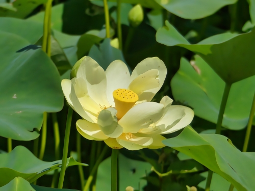 American Lotus at Swan Harbor Farm Park
