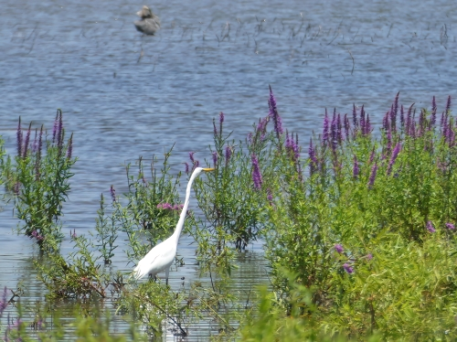 A Great Egret in the beautiful, but horrible non-native invasive Purple Loosestrife at Kain County Park