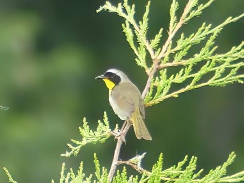 Male Common Yellowthroat at Richard M. Nixon County Park
