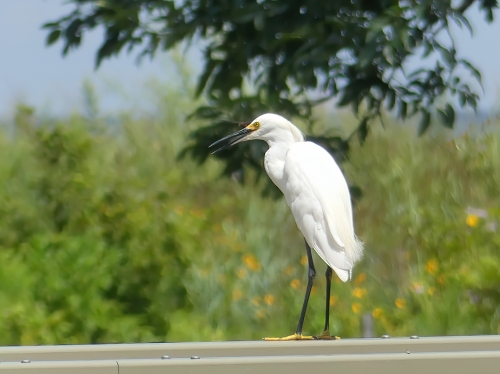 Snowy Egret at Wolfe's Pond Park