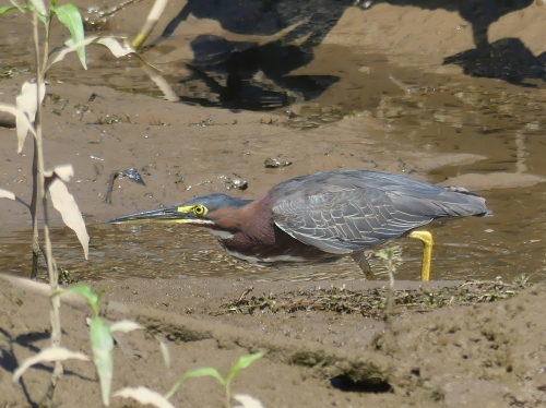 Green Heron at Kenilworth Park & Aquatic Gardens