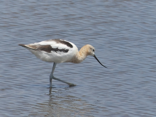 One of two beautiful American Avocets at Forsythe NWR, flagged by eBird as rare